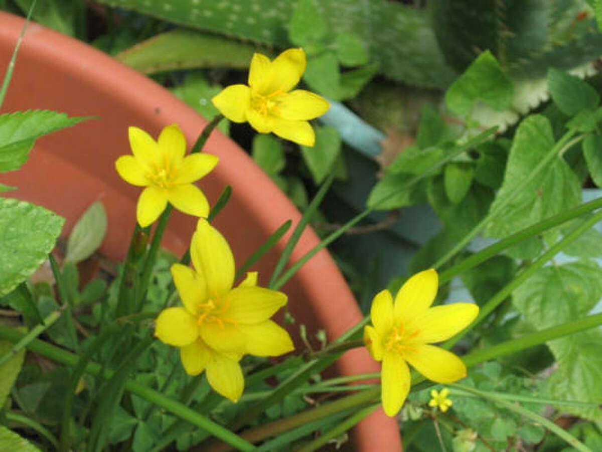 Yellow rain lilies. Always a pleasant surprise. More: Wren family gallery |Submit your garden photos | Houston Plant Database | HoustonGrows.com