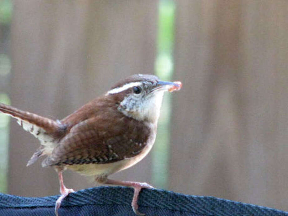 March 18: I was surprised to see Mr. Wren bringing food to the gourd nest on my back porch. Photo: CHEYBEAN, CHRON.COMMONS