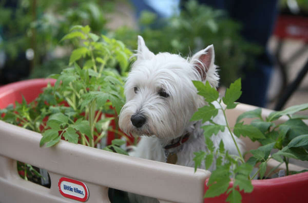 West Highland white terriers: ''A perfect dog in every way. Not too big, and not too small. They are fun loving and good with kids!'' - PixieGirl