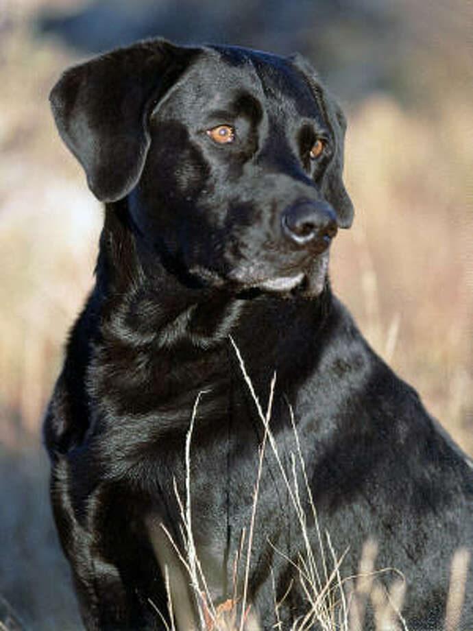 No. 1:Labrador retriever Photo: AP