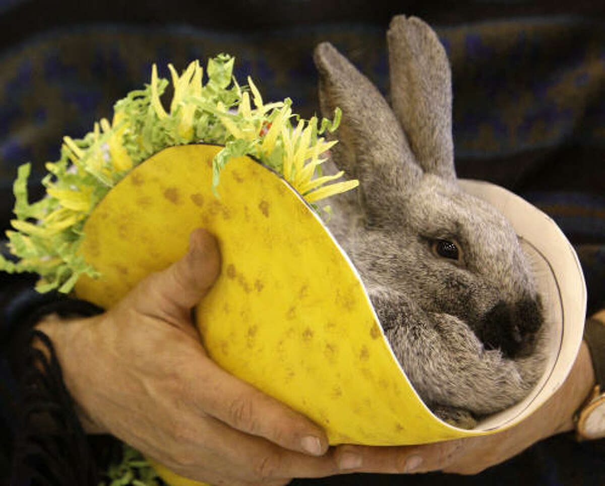 """A Champagne D'Argent rabbit, dressed as """"Paco Bell"""" and owned by Ray Alexander of Hempstead, took first place at the contest at Reliant Center, Sunday in Houston."""