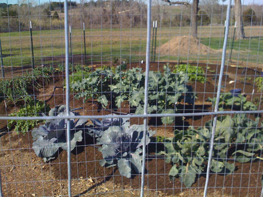 The Katzmans' vegetable garden in New Ulm. More: Story |Vegetable & herb garden   inspirations | Search database   vegetables | HoustonGrows.com Photo: Judith Katzman, For The Chronicle