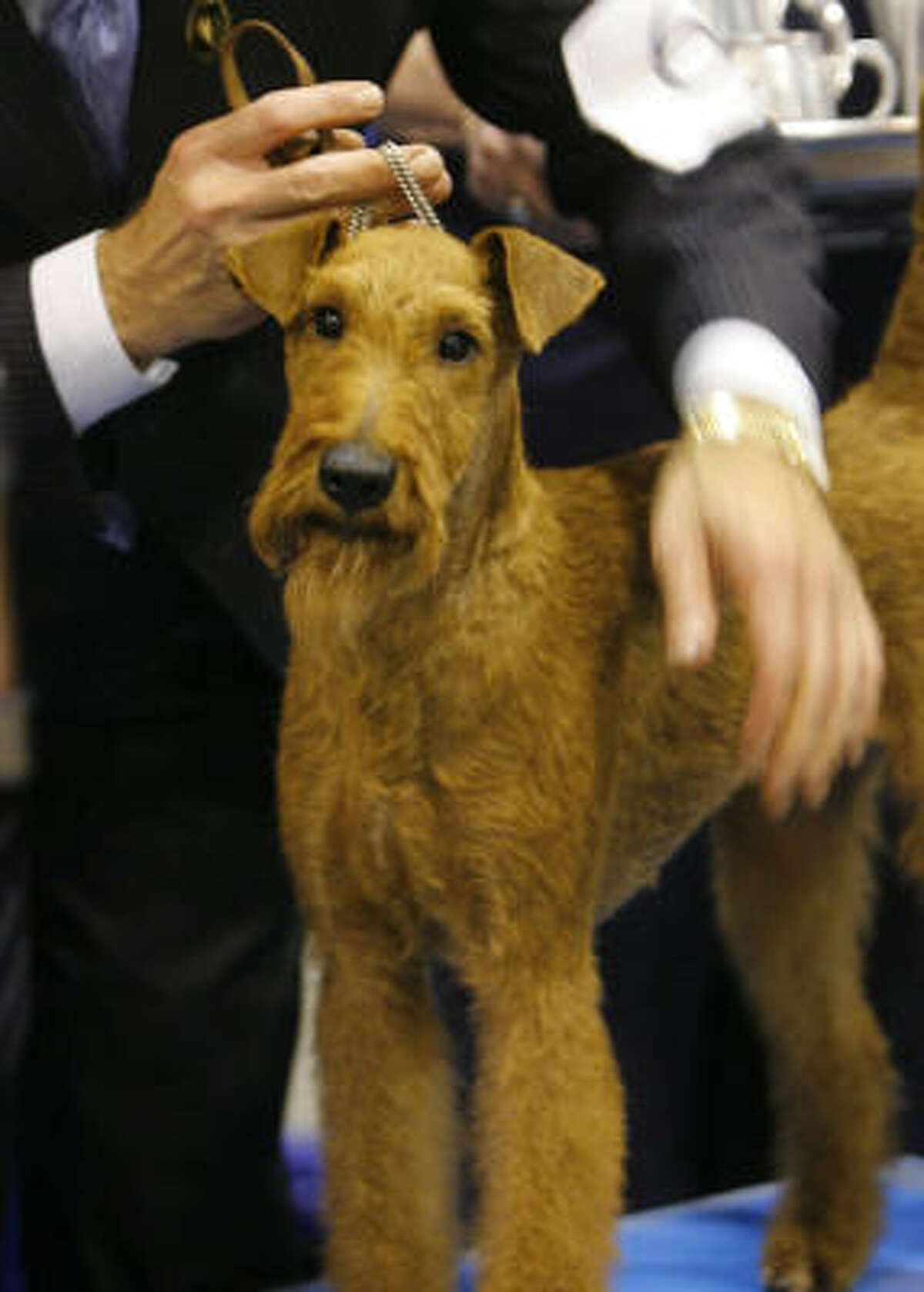 Irish terrier: Cast as hero in the 2007 movie Firehouse Dog and used to transport messages between troops on the front lines of WW1. Their bravery and spirit make them incomparable pets, and they're also known for tenacity, loyality and friendliness.