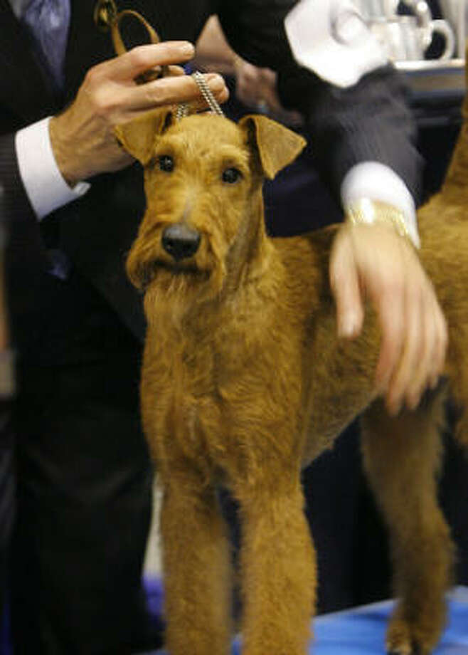 Irish terrier:Cast as hero in the 2007 movie Firehouse Dog and used to transport messages between troops on the front lines of WW1. Their bravery and spirit make them incomparable pets, and they're also known for tenacity, loyality and friendliness. Photo: Steve Campbell, Chronicle