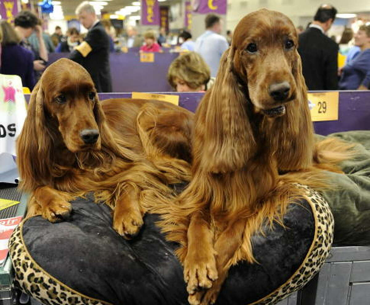 Irish setters: It takes about three years for them to mature to adulthood, so be prepared for rollicking personalties and the need for exercise. They are tough and tireless field retrievers but also loving companion dogs who enjoy the company of children.