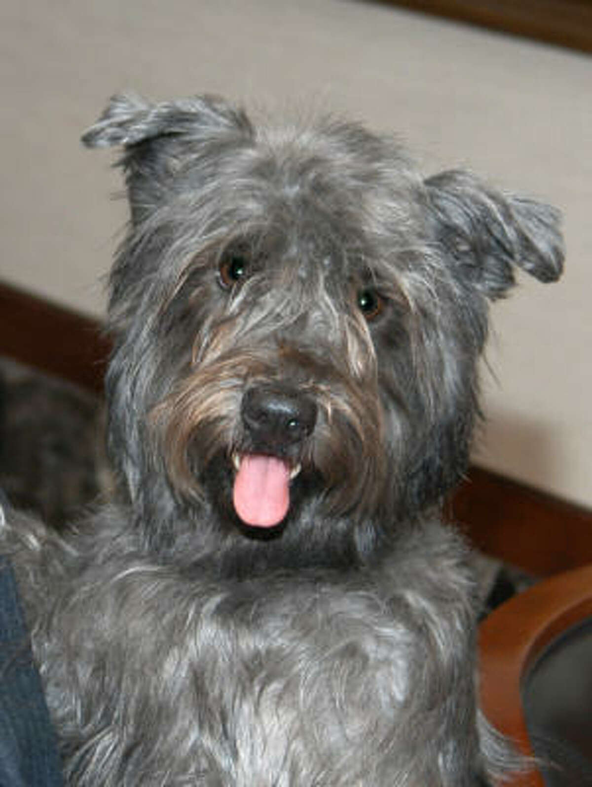 Glen of Imaal terrier: Working terriers with great strength. Courageous and always ready to give chase, they're agile, silent and intent when working. Otherwise docile companions for families with older children.