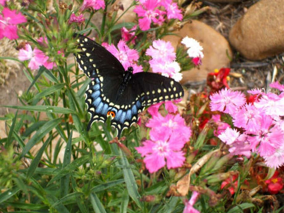 Swallowtail on dianthus  More: Submit your garden photos | Houston Plant Database | HoustonGrows.com Photo: Cougarmom, Chron.commons