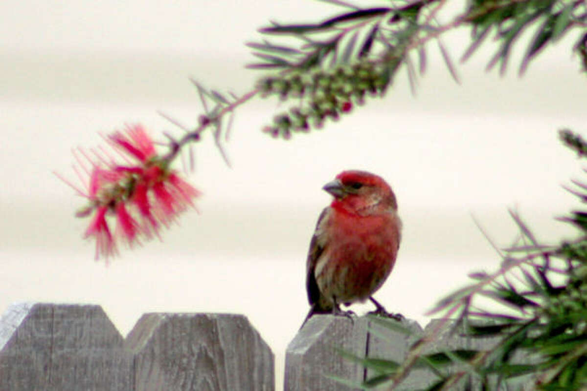 House finch and bottlebrush More: Submit your garden photos | Houston Plant Database | HoustonGrows.com