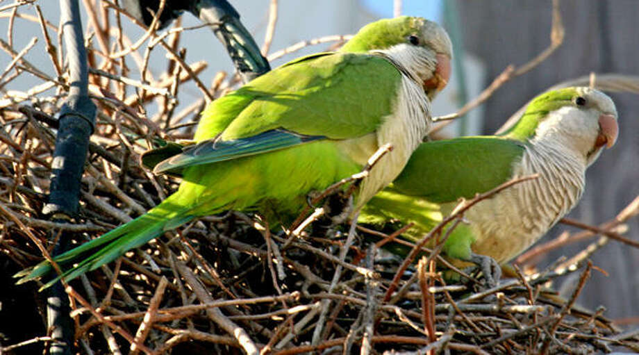 Workers with Austin Energy are running into problems with Monk Parakeets nesting atop utility poles and transformers.  Photo: Butterhummer, Chron.commons