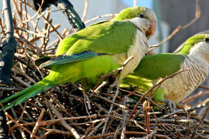 Monk parakeets   More:   Submit your garden photos    |    Houston Plant Database    |    HoustonGrows.com