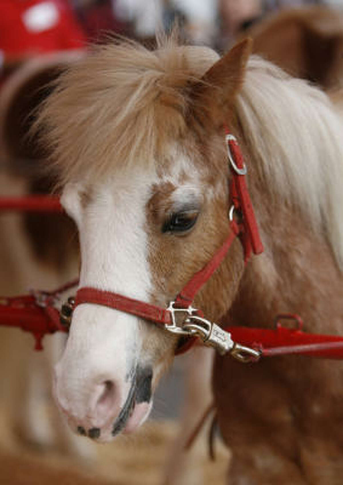 Cowboy the pony: The friendly Welsh pony is a kid favorite because of his name, said Louis Alcarzar, Great American Pony Ride manager, but Cowboy is also one of the strongest ponies hitched to the circle ride. Another fave is Twinkie, a blond pony that sometimes will smile for the camera, Alcarzar said. Details: There are pony rides in AGventure and Kids Country. Cost: $7.