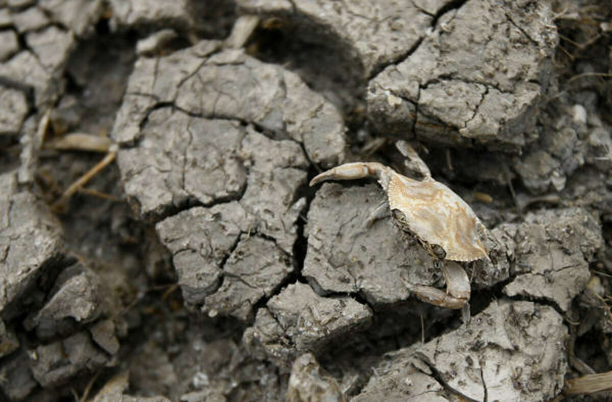 A dead crab falls between the cracks at the White Ranch. The dead creatures that litter his property are further proof, White noted, that for 12 days after Hurricane Ike's surge, the ranch became part of the Gulf of Mexico.