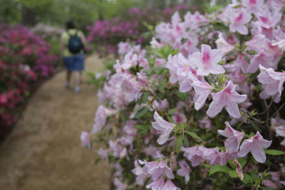 Azaleas bloom at Bayou Bend Gardens Saturday.