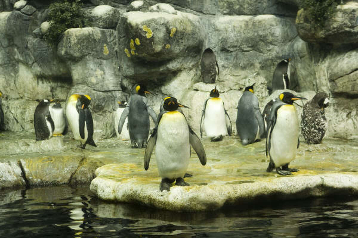 Emperor penguins stand in their habitat at Moody Gardens.