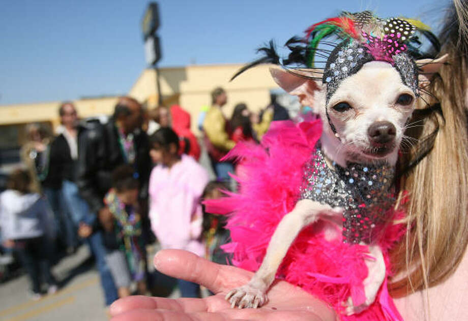 Coco goes glamorous for Sunday's Krewe of Barkus and Meoux Mardi Gras parade, a fundraiser for the Galveston Island Humane Society. Photo: Mayra Beltran, Chronicle