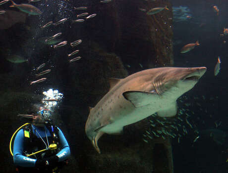 A shark swims above a diver during a feeding demonstration at the Two Oceans Aquarium in Cape Town, South Africa, in 2006. Photo: DENIS FARRELL, AP