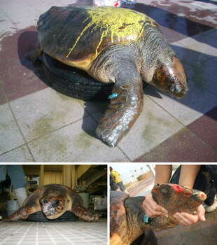 Rescuers believe this loggerhead sea turtle, which is suffering from severed limbs, was attacked by a shark near Kobe, Hyogo prefecture, in western Japan this week. Photo: AFP, AFP/Getty Images