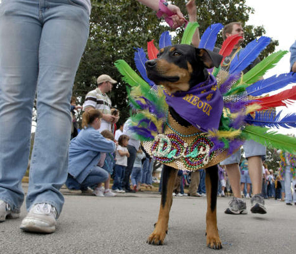 Daisy dressed up as an Indian for the Krewe of Barkus and Meoux Mardi Gras Parade last year.