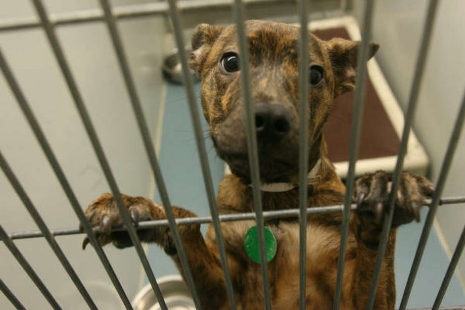 A stray dog waits to be processed at BARC on Feb. 13. Photo: Mayra Beltran, Chronicle