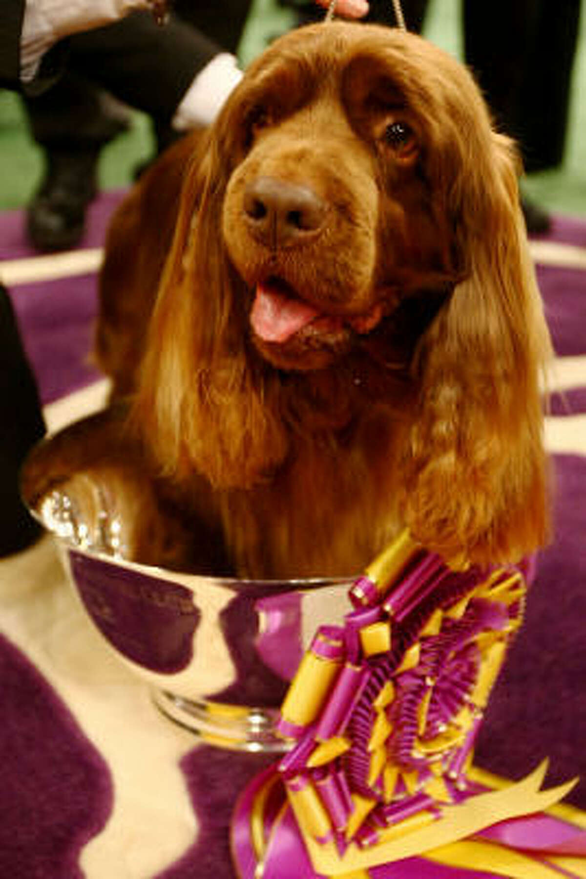 Stump, a Sussex spaniel from Houston, sits in the cup he'll take home for winning Best in Show at the Westminster Dog Show Tuesday night. Over 2,500 dogs from 48 states competed.