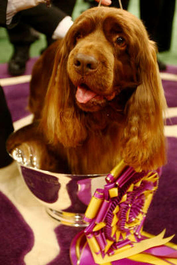 Stump, a Sussex spaniel from Houston, sits in the cup he'll take home for winning Best in Show at the Westminster Dog Show Tuesday night. Over 2,500 dogs from 48 states competed. Photo: Chris McGrath, Getty Images