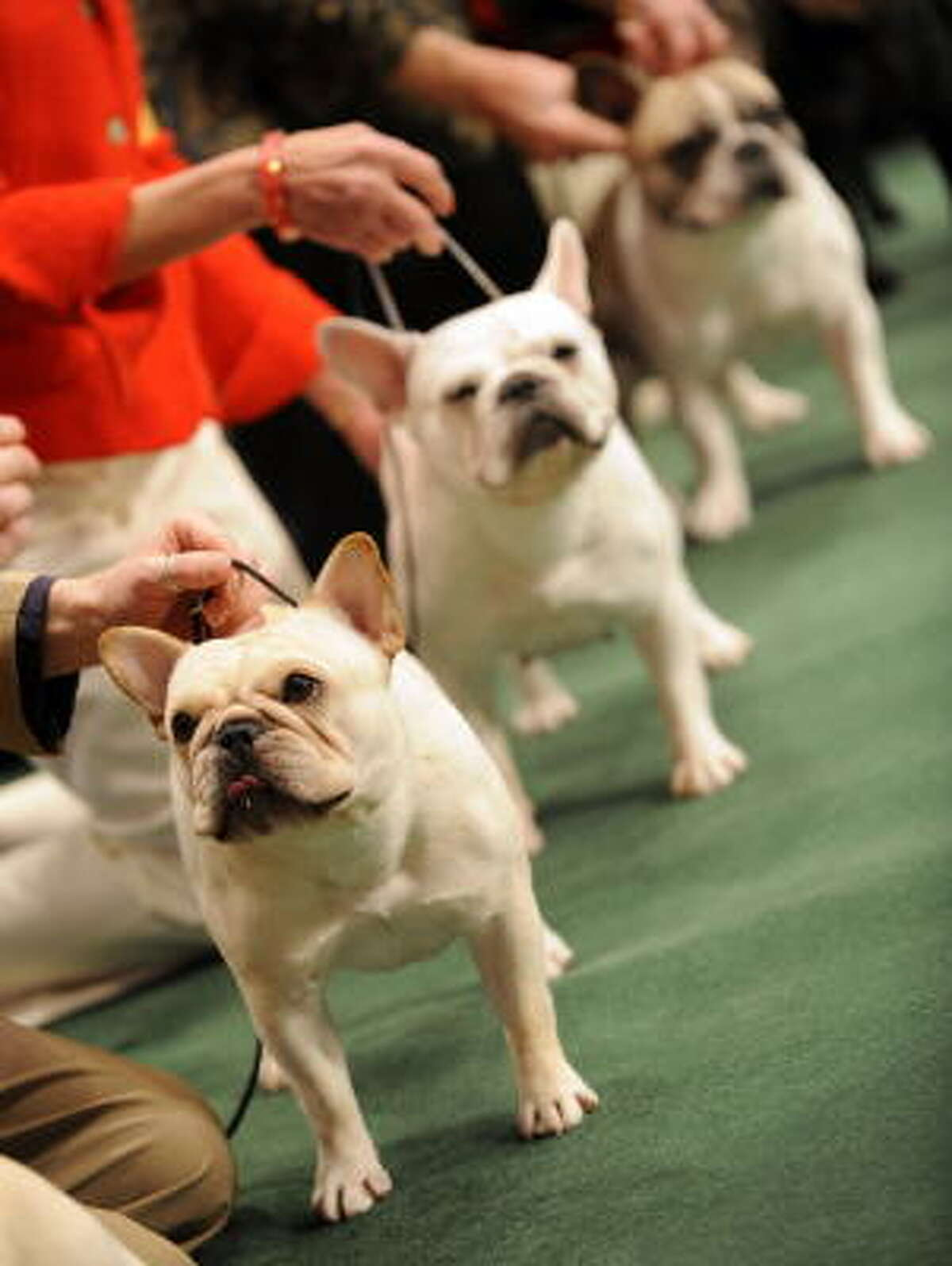 French bulldogs line up in the judging ring.