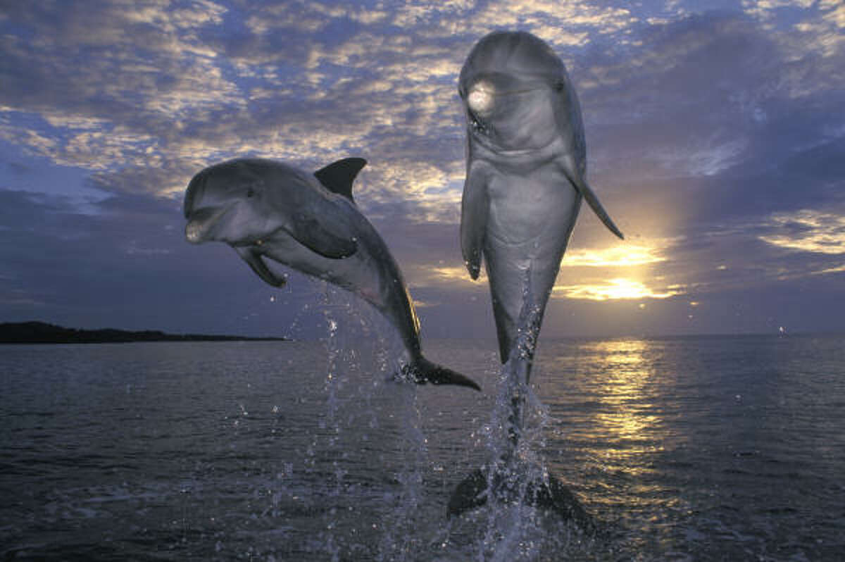 Two dolphins play in the waters off the Roatán, Honduras, coast.