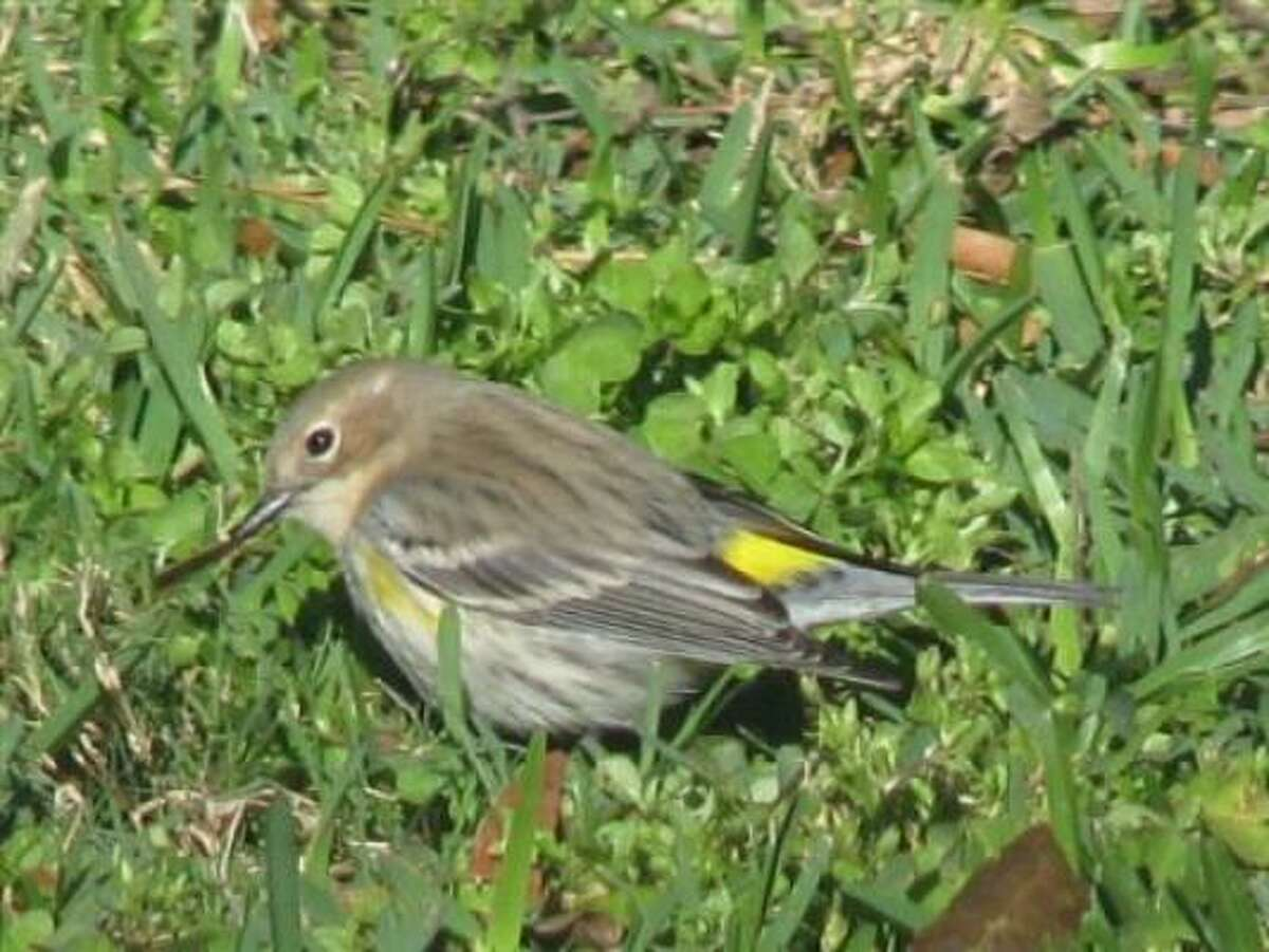 Yellow-rumped warbler More: Guide to feeding the birds in Houston | Houston Plant Database | HoustonGrows.com