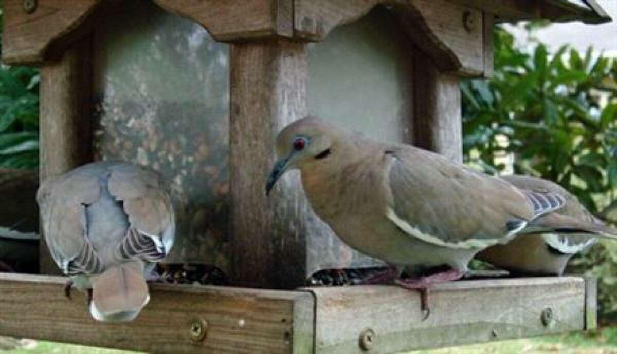 White-winged doves More: Guide to feeding the birds in Houston | Houston Plant Database | HoustonGrows.com