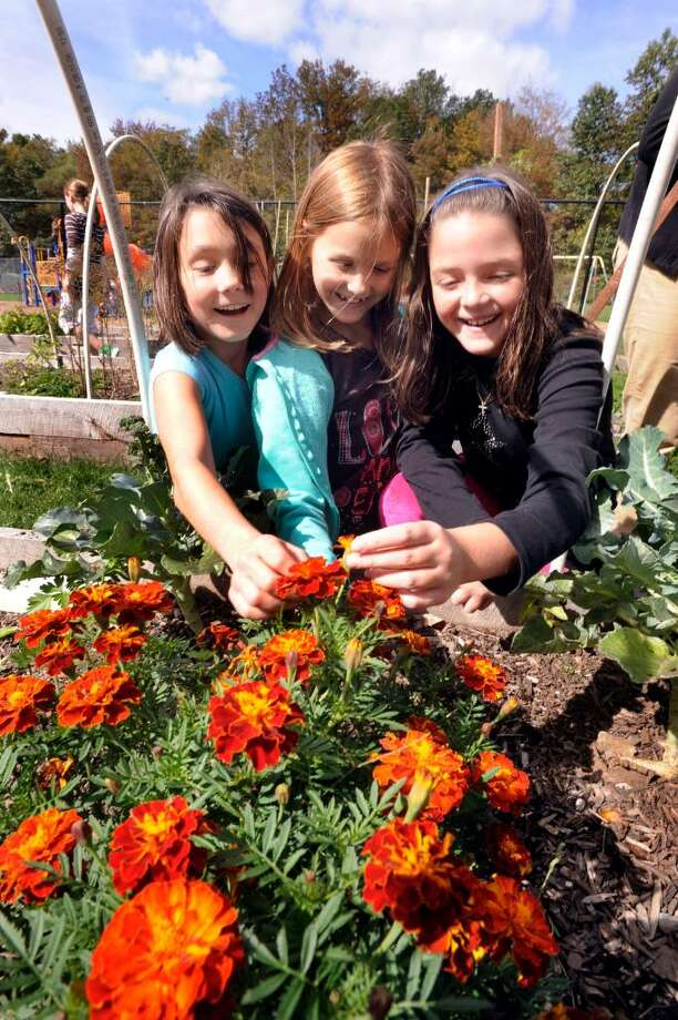 "Huckleberry Hill Elementry School fourth grade students tend marigolds planted by the second graders in a garden called "" Hucks Paw Patch"" at the Brookfield school on Thursday, Oct.8,2009. From left are: Brittney Ek, Amanda Bray and Leah Thompson. Photo: Michael Duffy / The News-Times"