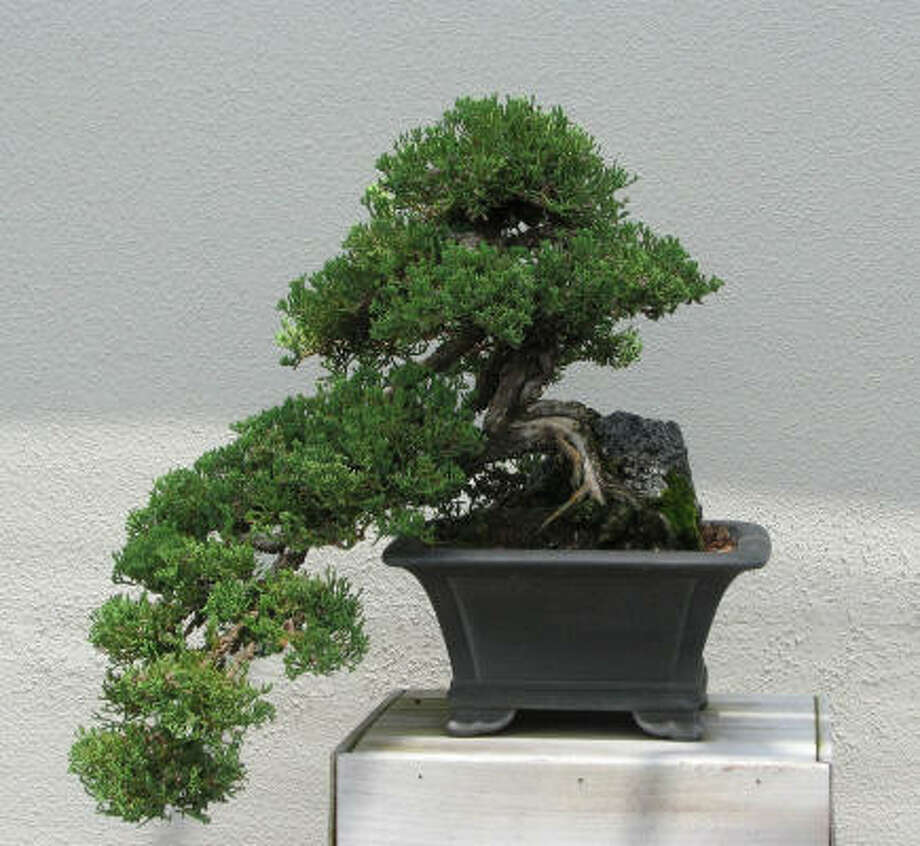 A bonsai is seen at Longwood Gardens in Kennett Square, Pa. Pruning a bonsai is what makes and keeps it small, but pruning is only a small part of the art of bonsai. Photo: Lee Reich, AP