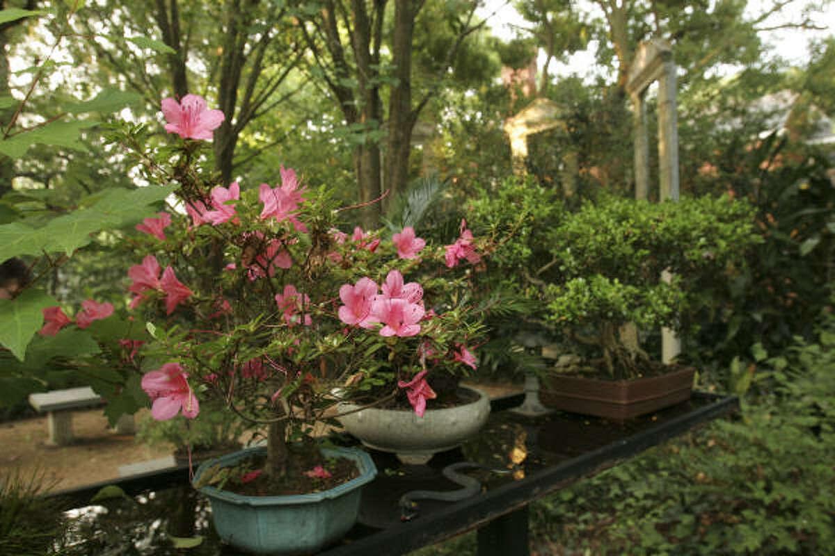 In his large Riverside Terrace garden, Michael Lee has bonsai specimens, including azaleas.