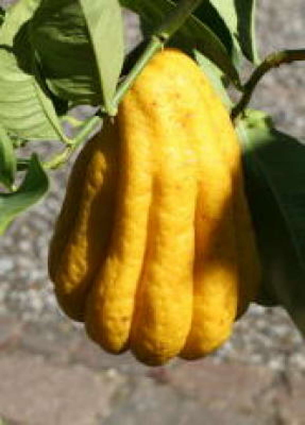 Citron 'Buddha's Hand' More: Fruit tree sales, classes | Citrus FAQ | Top 10 citrus | Database fruit trees | HoustonGrows.com