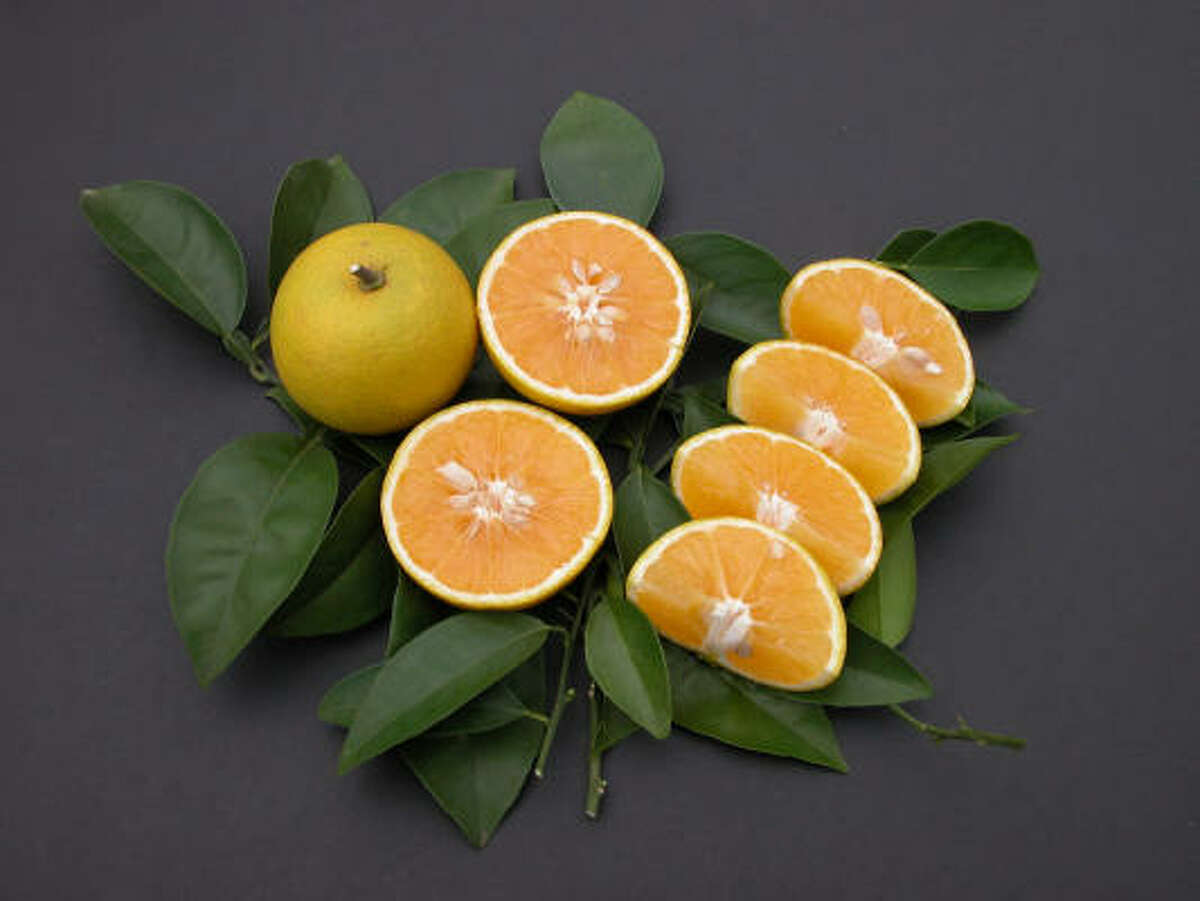 'Republic of Texas' orange More: Fruit tree sales, classes | Citrus FAQ | Top 10 citrus | Database fruit trees | HoustonGrows.com