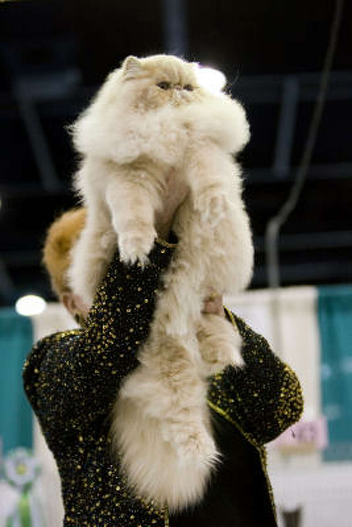 Judge Kim Everett-Hirsch holds up a Persian that won one of the best of show awards for kittens at Houston's 57th Annual Charity Cat Show.