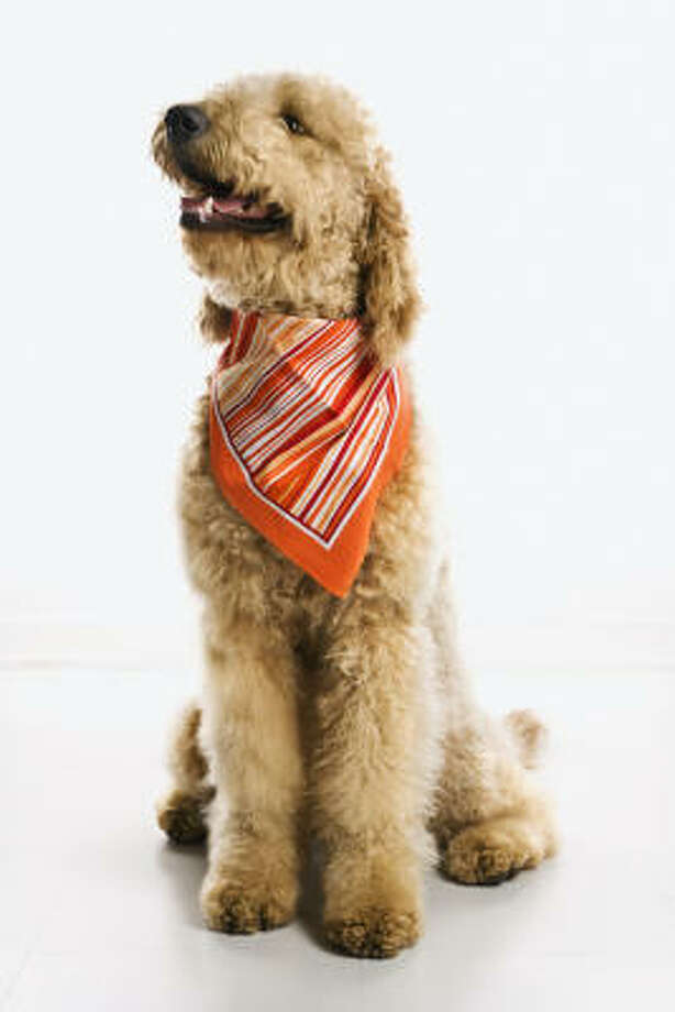 Buy:Goldendoodle Photo: Ron Chapple, Fotolia