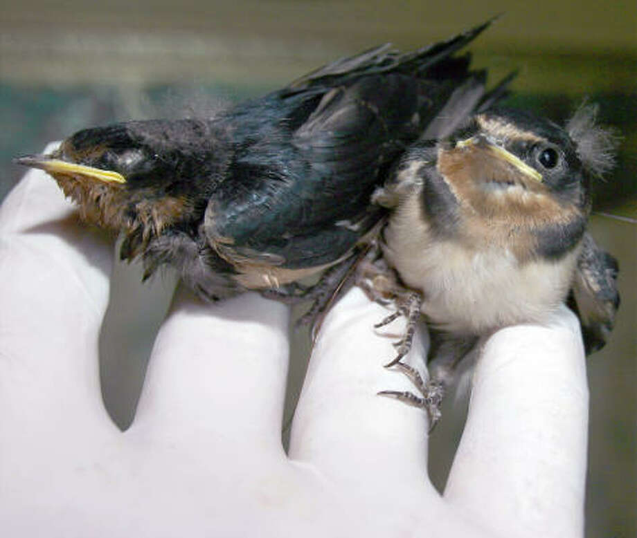Two baby conjoined barn swallows rest after a fall from their nest Thursday morning, July 17, 2008 in Searcy, Ark. The rare bird discovery was made by a White County resident in her front yard on Thursday. The unusual duo is already sparking the interest of national museums. Photo: Samuel Peebles, AP