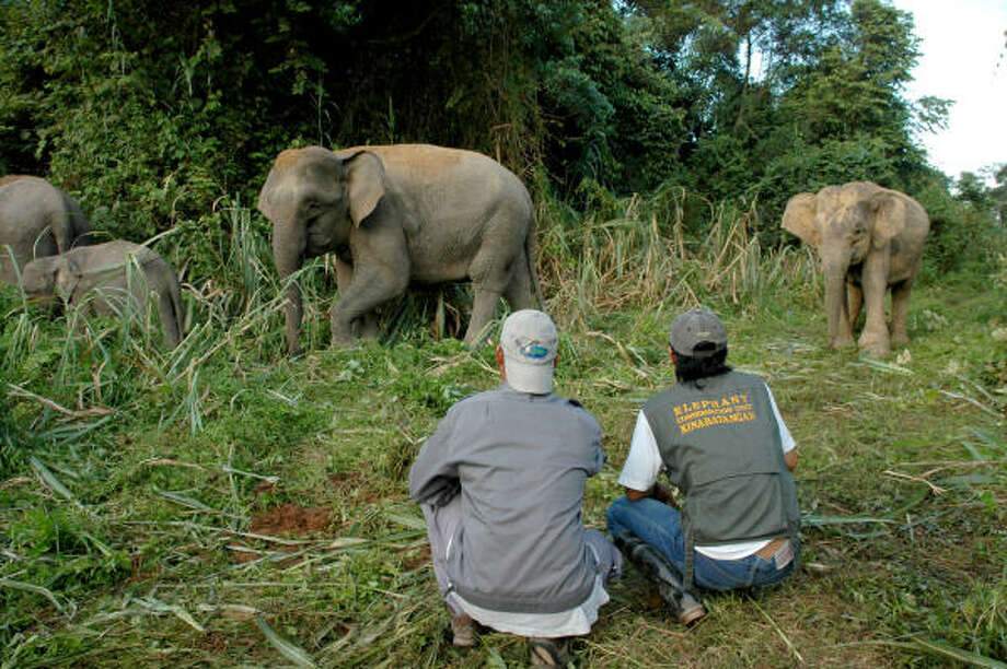 The Houston Zoo's conservation department is involved in a project to protect pygmy elephants in Borneo. Photo: Houston Zoo