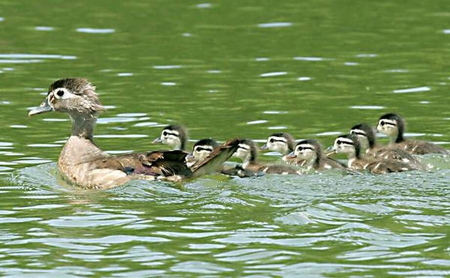 A hen wood duck leads her brood of eight ducklings across a swamp slough in an East Texas river bottom. Good habitat conditions this spring have experts expecting higher-than-normal wood duck production in the eastern half of Texas. Photo: SHANNON TOMPKINS, CHRONICLE