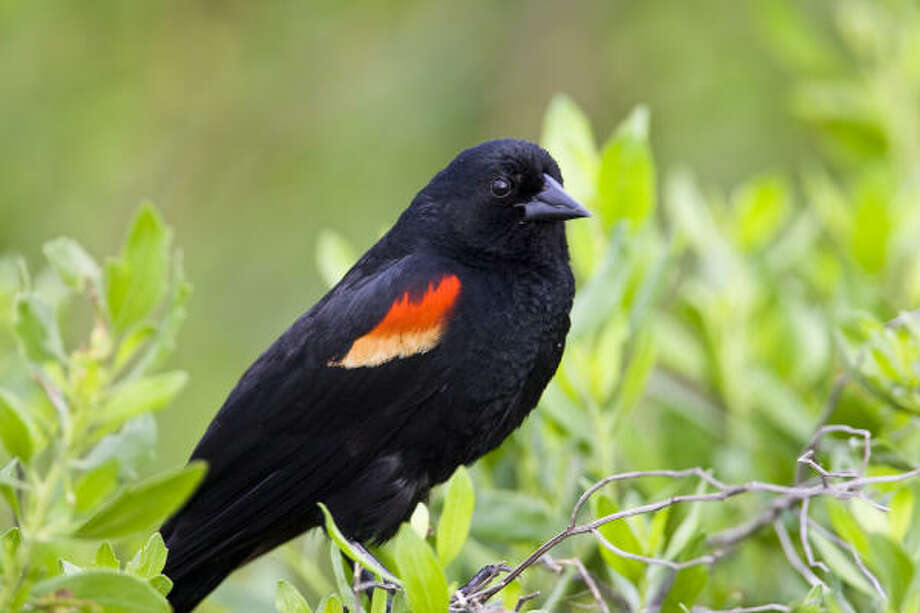 Male red-winged blackbirds show off their handsome red epaulets from perches around area marshes summer. Photo: Kathy Adams Clark