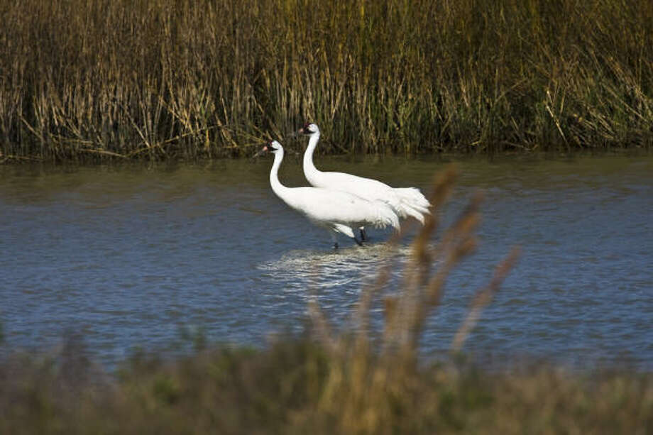 A pair of Whooping cranes walking through the marsh at the Aransas National Wildife Refuge on the central coast.  Photo Credit:  Kathy Adams Clark.  Restricted one-time use. Photo: Kathy Adams Clark