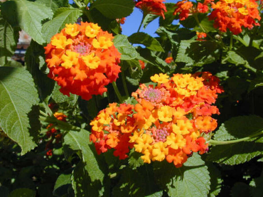 Lantana urticoides Photo: Joseph A. Marcus, Lady Bird Johnson Wildflower Center