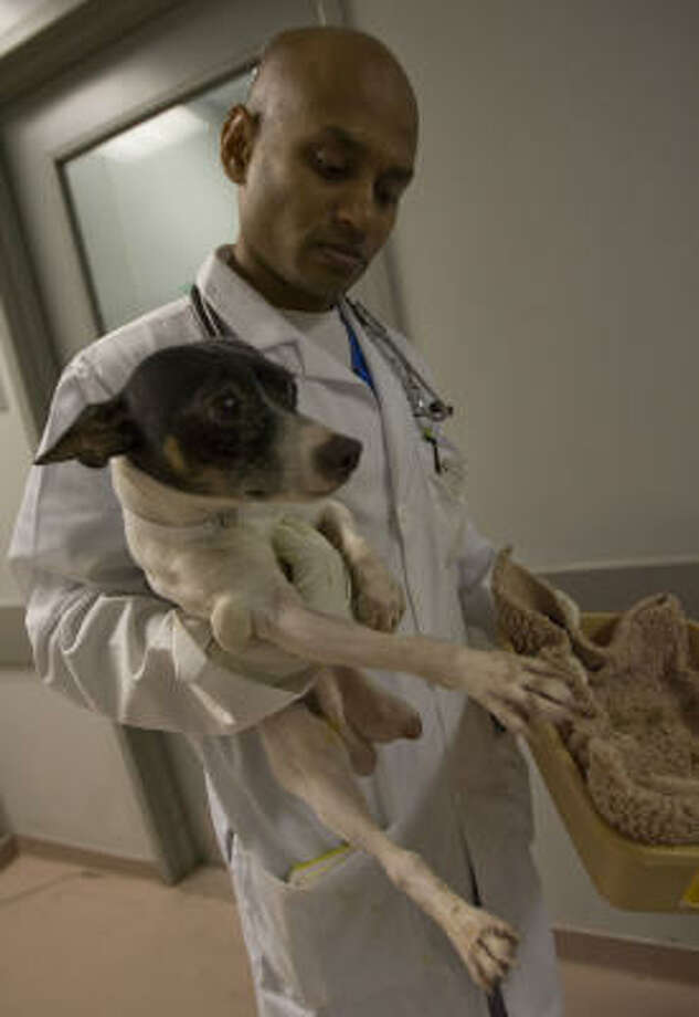 Dr. Dev Rajan, of the Houston SPCA, holds one of the terriers seized from a trailer in Fayette County earlier this month. Photo: James Nielsen, Chronicle