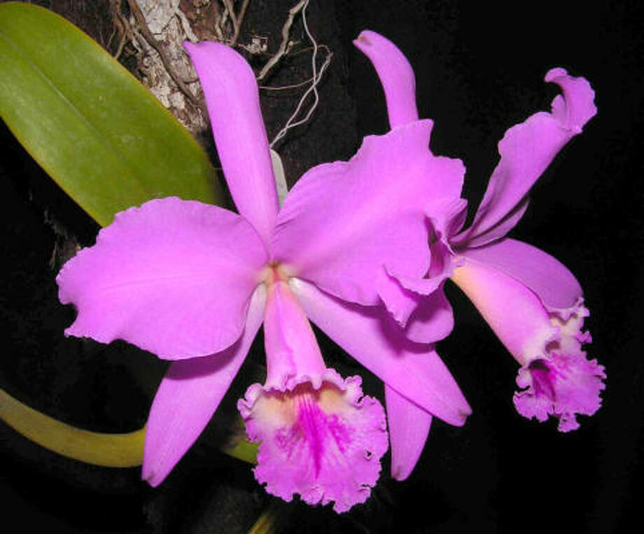 Cattleya labiata Photo: Wikepedia.com