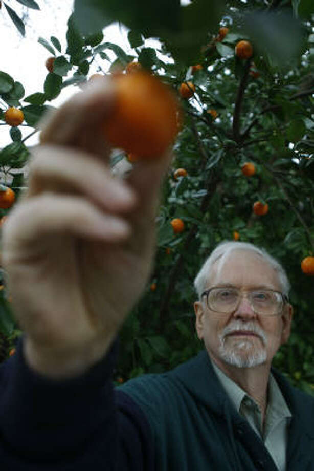 Dr. Bob Randall shows the fruit from his calamondin tree. Photo: Nick De La Torre, Chronicle