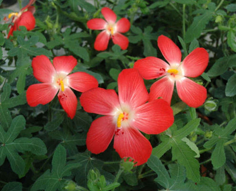 Oriental Red Mallow is colorful and easy to grow. Photo: Heidi Sheesley, Treesearch Farms