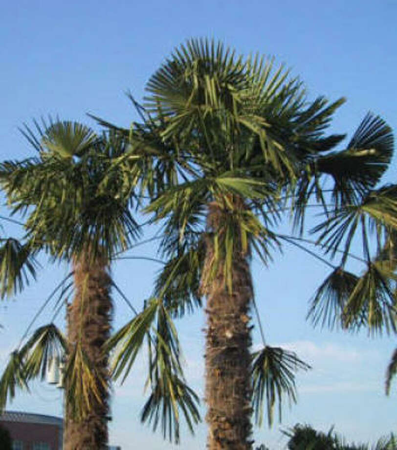 Chinese windmill palm Photo: Horticultural Consultants Inc.