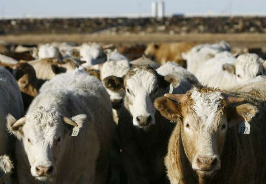 Cattle in a pen wait for their next meal at the Tulia Feedlot. Gov. Rick Perry wants to relax federal rules requiring corn-based ethanol because of rising costs that are harming the Texas economy. Photo: MELISSA PHILLIP PHOTOS, CHRONICLE