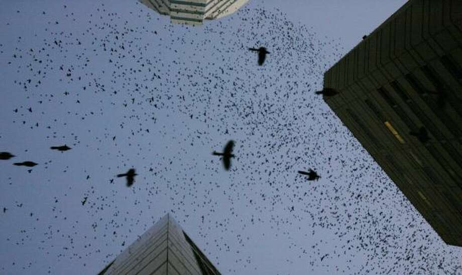 Tens of thousands of birds, mostly grackles and starlings, take off from their perches as the sun sets on downtown Houston. Photo: KAREN WARREN, CHRONICLE