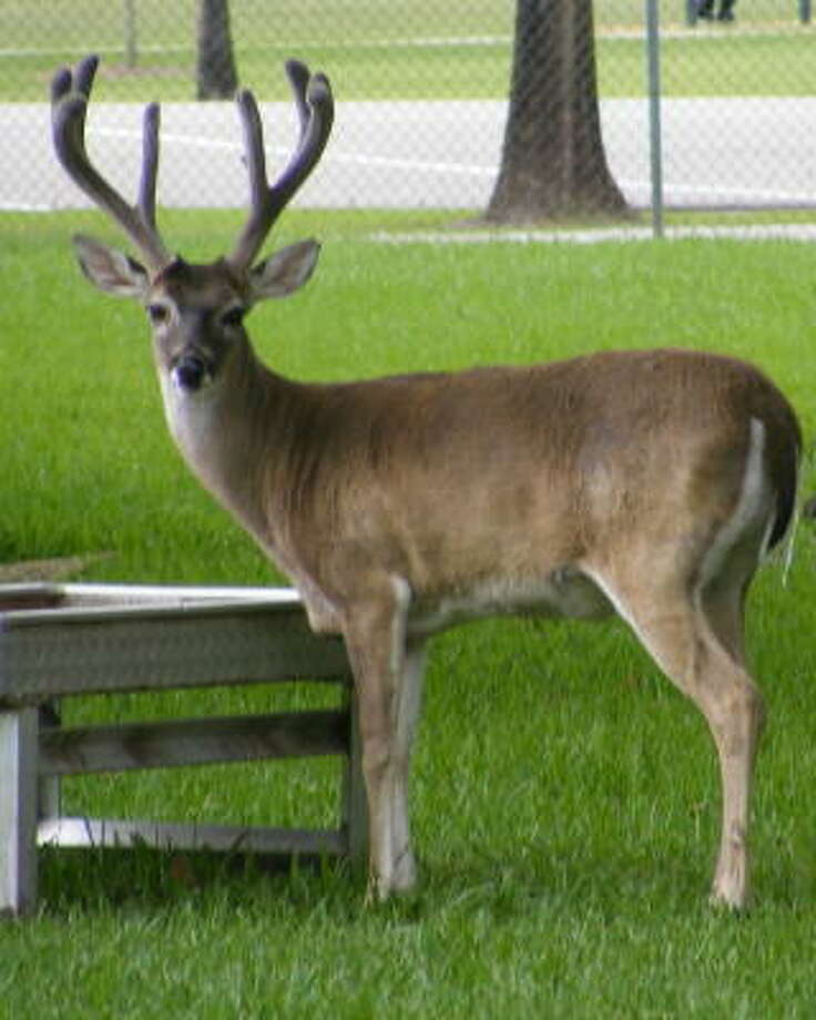 Officials said the deer, named Mr. Buck, was a favorite of schoolchildren at Bear Creek Pioneers Park. Photo: Handout From Constable Precinct 5 Office